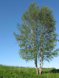 Дерево берёза