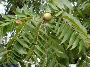Дерево чёрного ореха